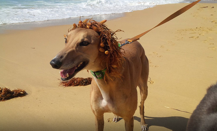 Seven Myths Dispelled About Greyhounds