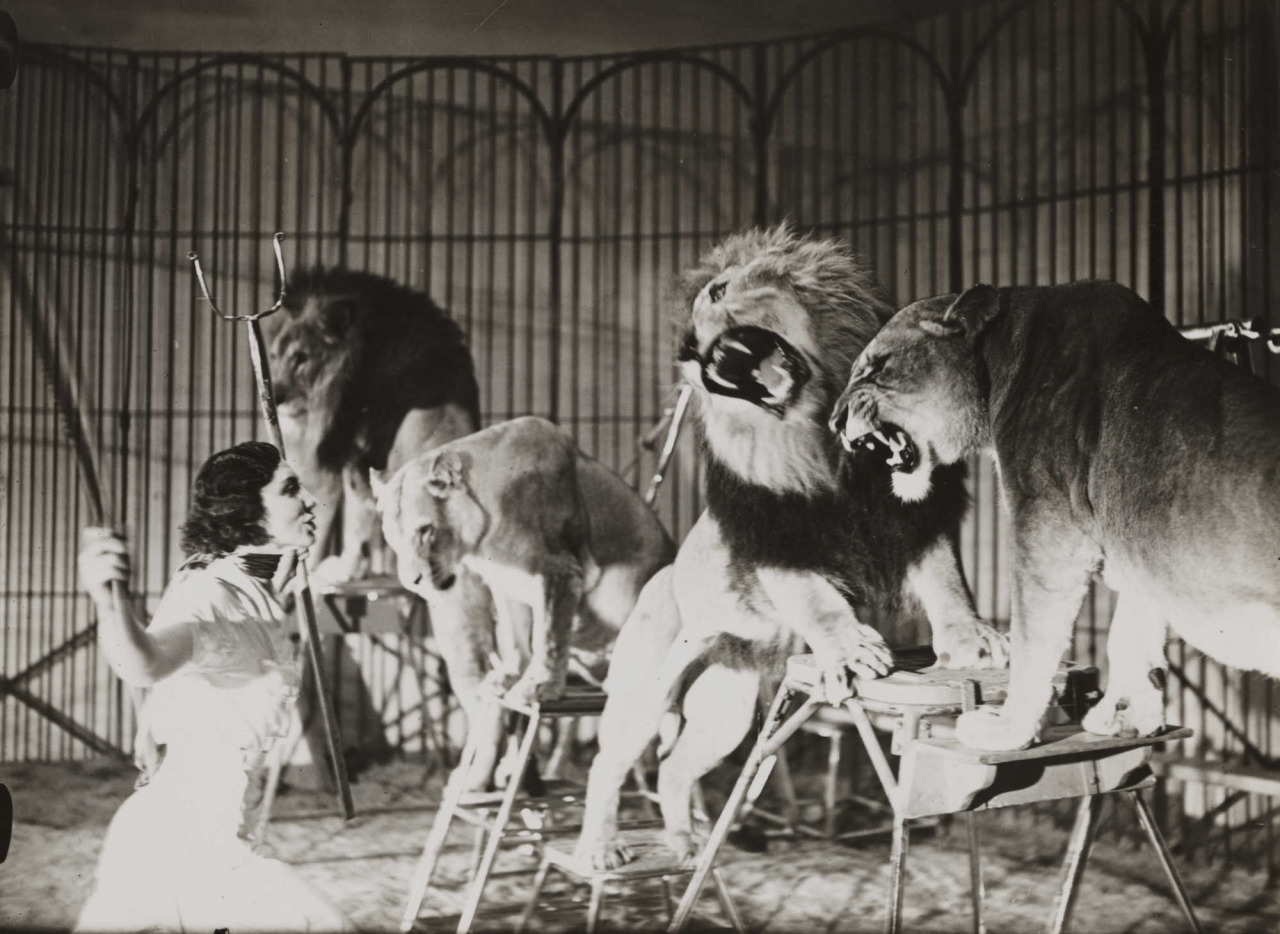 Every Picture Tells A Story: Lion Tamer for a touring circus at Ascot, 1936