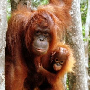 How you can fight against the palm oil industry and help orangutans http://wp.me/p41CQf-Ium