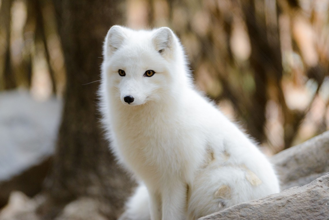 Arctic foxes are the artisans of their own vibrant gardens
