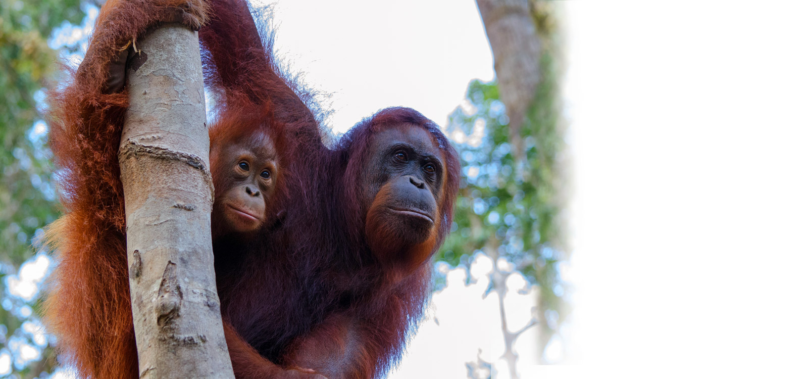 How you can help save the Critically Endangered Orangutans of Borneo