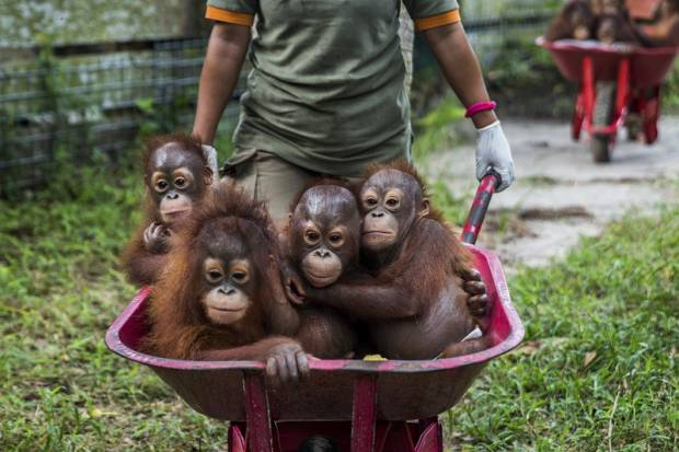 Orangutans at the centre learn from human minders how to climb trees, make a nest of leaves, spot edible forest fruits and avoid snakes and other dangers. — Picture by Kemal Jufri/The New York Times