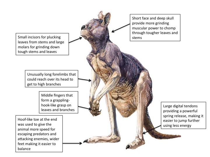 Ancient Australian megafauna: Procoptodon goliah