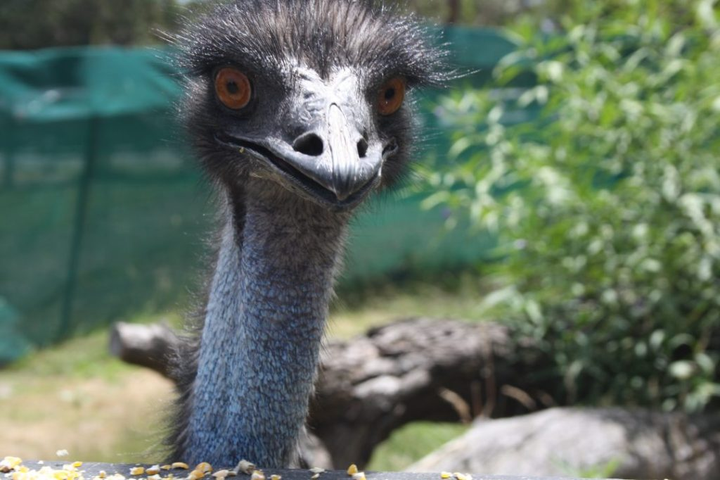 An emu looks me with its dead eyes at Moonlit Sanctuary on the Mornington Peninsula